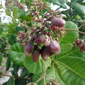 cashnuts