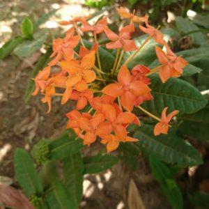 花の名前を教えてください①(カンボジア)