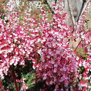 tea rose begonia