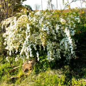 楠(くすのき)の花