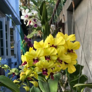 moth orchid yellow