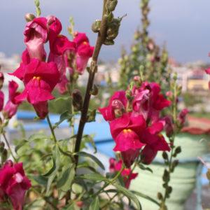 花の名前を教えてください②(ネパール)