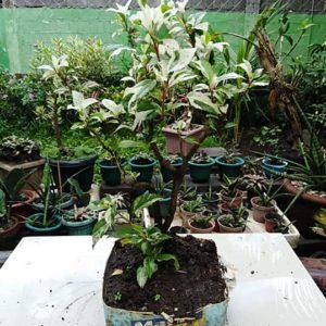 bonsai autuanga