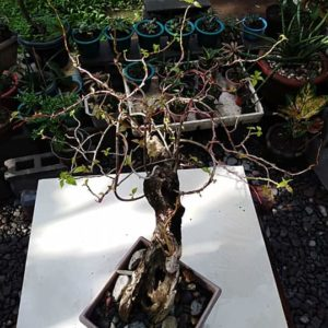 bonsai bagombilya