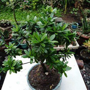 bonsai pinksantan