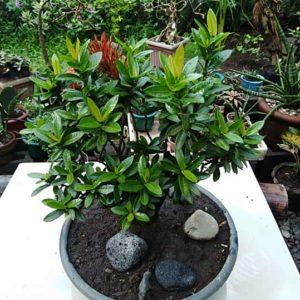 bonsai santan