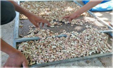 カンボジアのカシューナッツ事業