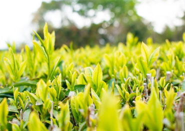 楠クリーン村:茶収穫準備