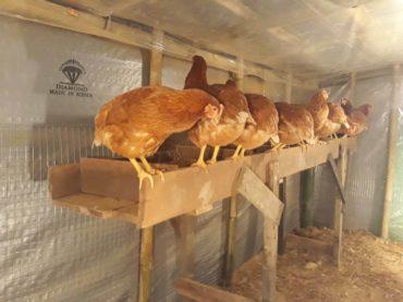 ミャンマースドン村 養鶏ビジネスについてのレポート