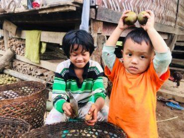 ミャンマー:スドンクルミ収穫の季節