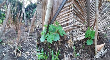 フィリピン・サライ「野菜を植えよう」の続報。